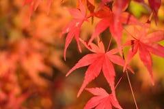 Les macro coordonnées du Japonais Autumn Maple part avec le fond brouillé Photographie stock libre de droits