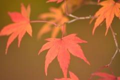 Les macro coordonnées du Japonais changeant Autumn Maple de couleur part Images libres de droits