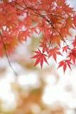 Les macro coordonnées du Japonais changeant Autumn Maple de couleur part Photos stock