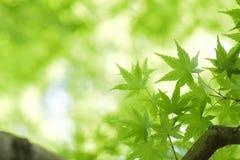 Les macro détails de l'érable japonais vert frais part Images stock