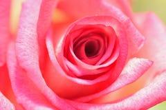 Les macro détails du rose vibrant ont coloré la fleur rose Photographie stock libre de droits