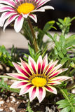 Les macro pétales de plan rapproché pilent le gerbera dans le pot de fleur dans le jardin Photo libre de droits