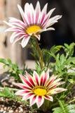 Les macro pétales de plan rapproché pilent le gerbera dans le pot de fleur dans le jardin Photos stock