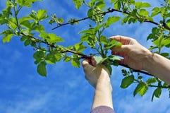 Les mains caressent soigneusement les branches douces de ressort du blackbe de jardin Image libre de droits
