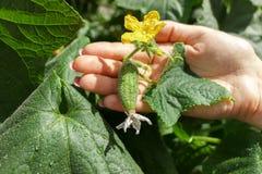 Les mains d'agricultrice vérifient un concombre à la ferme organique après pluie photo stock