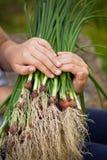 Les mains d'enfant tiennent les oignons verts Photo stock