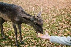 Les mains d'une jeune fille sont alimentation par une pomme un cerf commun en parc du château de Blatna République Tchèque images libres de droits