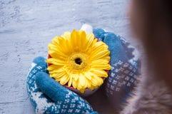 Les mains dans des mitaines tiennent une fleur de gerbera dans une tasse Photos stock