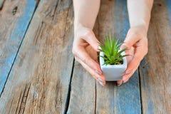 Les mains de fille tient peu d'usine à la maison dans le pot blanc Copiez l'espace photo libre de droits