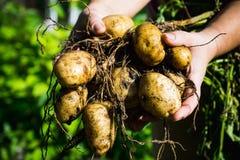 Les mains de l'agriculteur avec la plante de pomme de terre de creusement fraîche photo stock