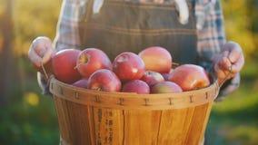 Les mains de l'agriculteur tiennent un grand panier complètement des pommes rouges mûres photographie stock libre de droits