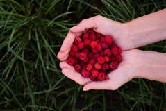 Les mains de la femme tenant les framboises rouges sur le fond d'herbe verte Image stock