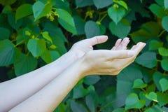 Les mains de la jeune fille sur le vert pousse des feuilles fond Image libre de droits