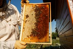 Les mains de plan rapproché de l'apiculteur tiennent le cadre en bois avec le nid d'abeilles Rassemblez le miel Concept de l'apic image libre de droits