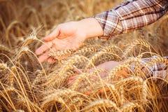 Les mains des femmes dans les oreilles mûres du blé Photographie stock