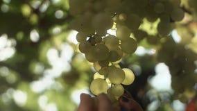 Les mains femelles prennent des raisins accrochant sur la tige au vignoble banque de vidéos