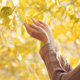 Les mains femelles sensuelles de photo d'automne touchent les feuilles jaunes photo libre de droits