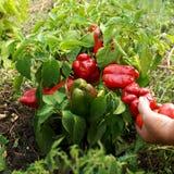 Les mains femelles tiennent le poivron rouge biologique dans le jardin images libres de droits