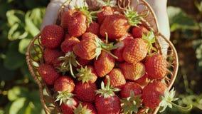 Les mains femelles tiennent un plat en osier avec des fraises banque de vidéos