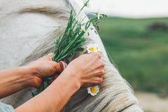 Les mains femelles tressent dans une crinière grise d'un cheval d'une camomille image stock