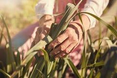 Les mains froissées d'une femme supérieure tenant le maïs part dehors Photos libres de droits