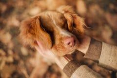 Les mains humaines touchent le chien d'arrêt de tintement de visage drôle photos stock