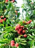 Les mains protègent des fruits de litchi sur l'arbre photographie stock