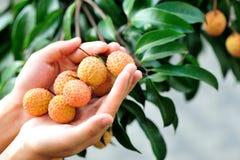 Les mains protègent des fruits de litchi sur l'arbre photographie stock libre de droits