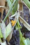 Les maladies de maïs Image libre de droits