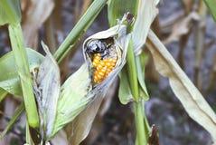 Les maladies de maïs Images libres de droits