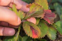 Les maladies des feuilles des fraises photographie stock