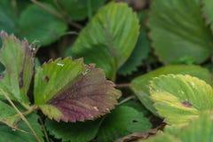 Les maladies des feuilles des fraises image libre de droits