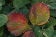 Les maladies des feuilles des fraises image stock