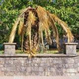 Les maladies des palmiers Palmier dattier d'îles Canaries infecté par le charançon rouge de paume photographie stock