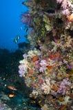 Les Maldives, la plongée et les coraux colorés Photos stock