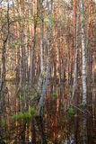 Les marais de Biebrza ont submergé la forêt photographie stock libre de droits
