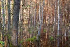 Les marais de Biebrza ont submergé la forêt photos stock