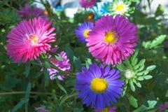 Les marguerites colorées et colorées sur un vert ont brouillé le fond dans le jardin d'été Grandes fleurs bleues et rouges faites Photo stock