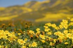 Les marguerites de Hillside et les wildflowers de fiddleneck dans le premier plan avec les collines defocused de Carrizo raffinen images libres de droits