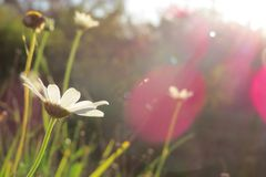 Les marguerites est le soleil Image libre de droits