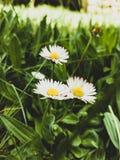 Les marguerites ont fleuri sur un fond d'herbe photo stock