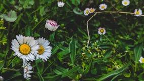 Les marguerites ont fleuri sur un fond d'herbe photo libre de droits