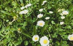 Les marguerites ont fleuri sur un fond d'herbe photos stock
