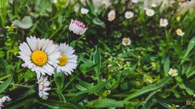 Les marguerites ont fleuri sur un fond d'herbe images libres de droits