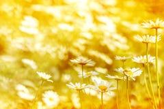 Les marguerites sauvages dans le coucher du soleil s'allument dans le jardin photos stock