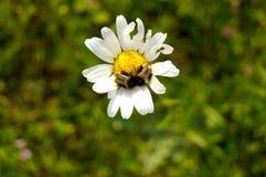Les marguerites sont simples pourtant sophistiquées et sont certaines des fleurs les plus belles au monde floral Image libre de droits