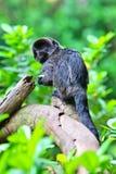 Les marmosets de Goeldi photographie stock