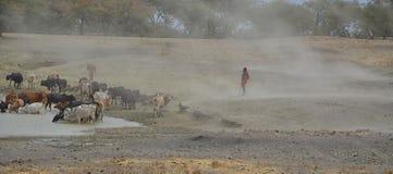 Les masais équipent avec des bétail image libre de droits