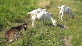 Les mastications de chèvre, posant et méditant sur la pelouse banque de vidéos