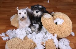 Les mauvais chiens vilains de schnauzer ont détruit le jouet de peluche Images stock